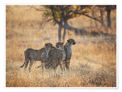 Poster A group of Cheetah, Acinonyx jubatus, on the lookout for a nearby leopard in Namibia's Etosha N