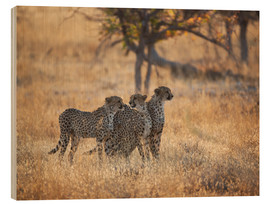 Bois  A group of Cheetah, Acinonyx jubatus, on the lookout for a nearby leopard in Namibia's Etosha N - Alex Saberi