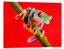 Verre acrylique  Tree frog on red