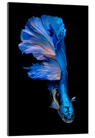 Verre acrylique  magnificent blue fish