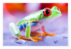 Poster  colorful frog