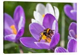 Tableau sur toile  Spring flower crocus and bumble-bee - Remco Gielen