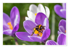 Poster  Spring flower crocus and bumble-bee - Remco Gielen