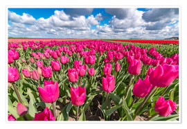 Poster Beautiful dutch Field of pink tulips
