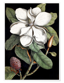Poster  Magnolia - Mark Catesby