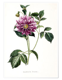 Poster  Dahlia Rosea - French School
