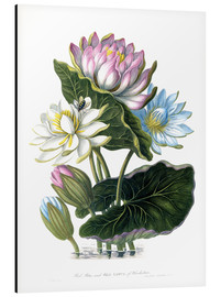 Alu-Dibond  Red, Blue, and White Lotus, of Hindostan - James Forbes