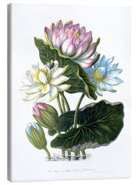 Toile  Red, Blue, and White Lotus, of Hindostan - James Forbes