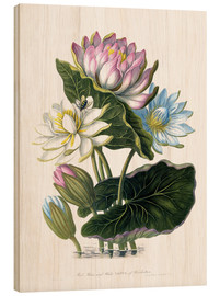 Tableau en bois  Red, Blue, and White Lotus, of Hindostan - James Forbes