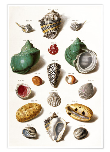 Poster Coquillages divers
