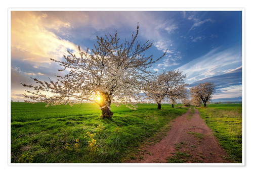 Poster Cherry trees in spring