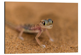 Tableau en aluminium  Desert Gecko in the Namib desert - Circumnavigation