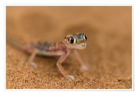 Poster  Desert Gecko in the Namib desert - Circumnavigation