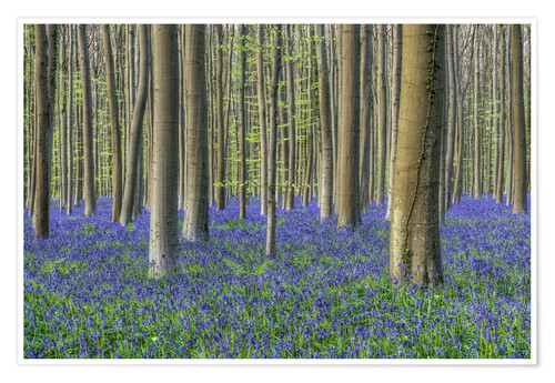 Poster Bluebells in the beech forest