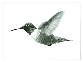 Poster  Ruby Throated Hummingbird Sketch - Ashley Verkamp