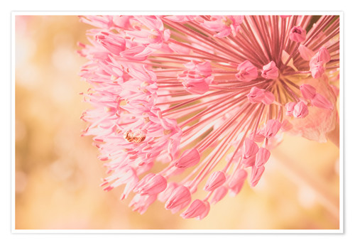 Poster Creamy Summer - Allium in Pink