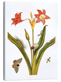 Tableau sur toile  lily with lepidoptera metamorphosis - Maria Sibylla Merian