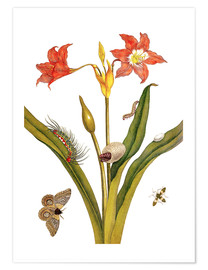Poster  lily with lepidoptera metamorphosis - Maria Sibylla Merian