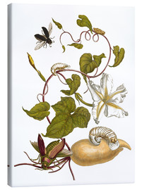 Tableau sur toile  white potato with lepidoptera metamorphosis - Maria Sibylla Merian