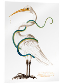 Tableau en verre acrylique  Heron encircled by a snake, with a worm in his bill - Maria Sibylla Merian