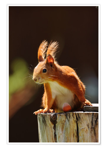 Poster Red squirrel with hazelnut