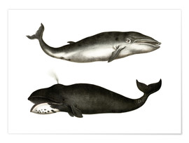 Poster Fin Whale