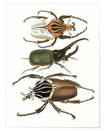 Poster  Large and rare beetles - German School