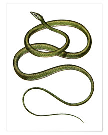Poster  Long-nosed Tree Snake - German School