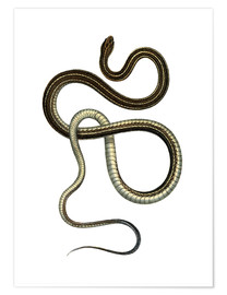 Poster Eastern Ribbonsnake