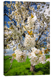 Toile  Cherry blossoms in spring - Steffen Gierok