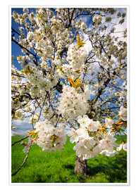 Poster Cherry blossoms in spring