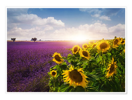 Poster  Lavender and sunflowers fields , Provence - Elena Schweitzer
