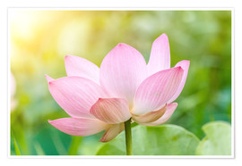 Poster  Lotus flower and Lotus flower plants