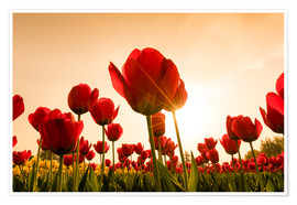 Poster  Coquelicots rouges