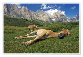 Poster Peacefully sleeping Haflinger foal on a mountain meadow