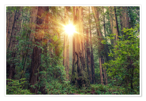 Poster Redwood Forest in Northern California