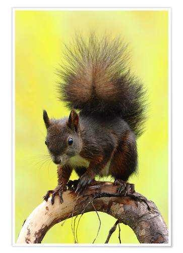 Poster Squirrel on a branch