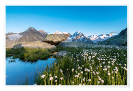 Poster Blooming of cotton grass at feet of Piz Bernina, Switzerland