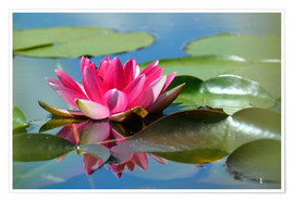 Poster Water lily with reflection