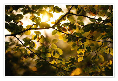 Poster Sunlight beams through the foliage in autumn