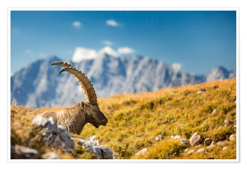 Poster Alpine Ibex in front of Mount Watzmann