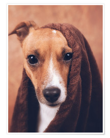 Poster  Jack Russel