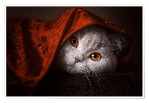 Poster Little Red Riding Hood? British short-haired cat under red blanket