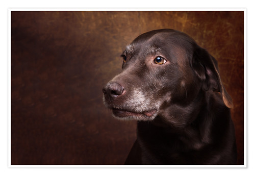 Poster Old Chocolate Labrador Portrait