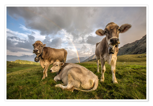 Poster Rainbow and cows, Valtellina, Lombardy, Italy
