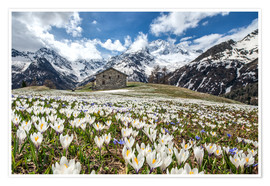 Poster Crocus flowers, Malenco Valley, Italy