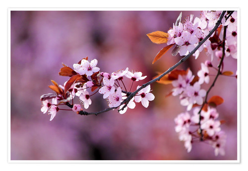 Poster Japanese Cherry Blossoms