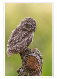 Poster Young Black Owl