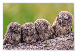 Poster  4 little owls - Friedhelm Peters