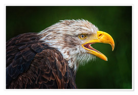 Poster Portrait of bald eagle